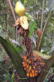 Musa arfakiana – Bulada Banana