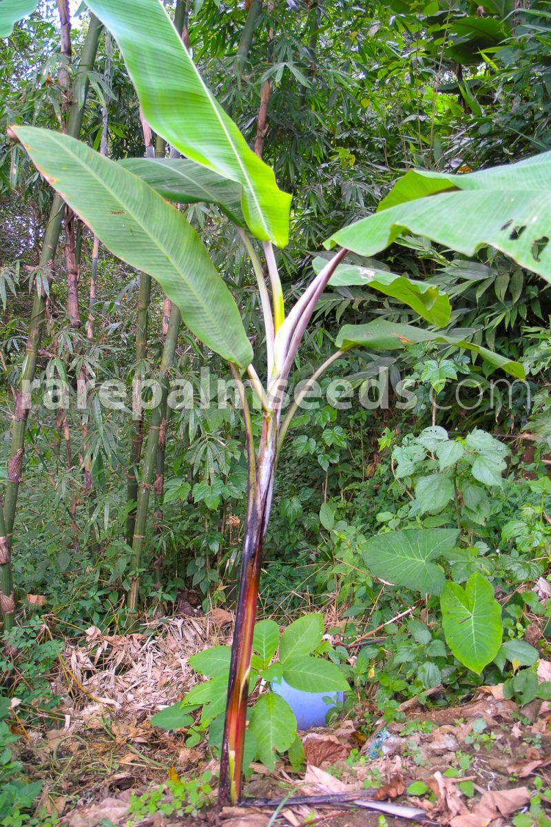 Yunnan Bananier 10 Graines Musa Yunnanensis