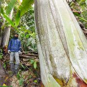 Musa ingens – Giant Highland Banana