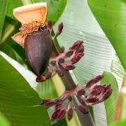 Musa itinerans 'Burmese Blue' – Blaue Burma-Banane