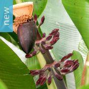 Musa itinerans 'Burmese Blue' – Blue Burmese Banana