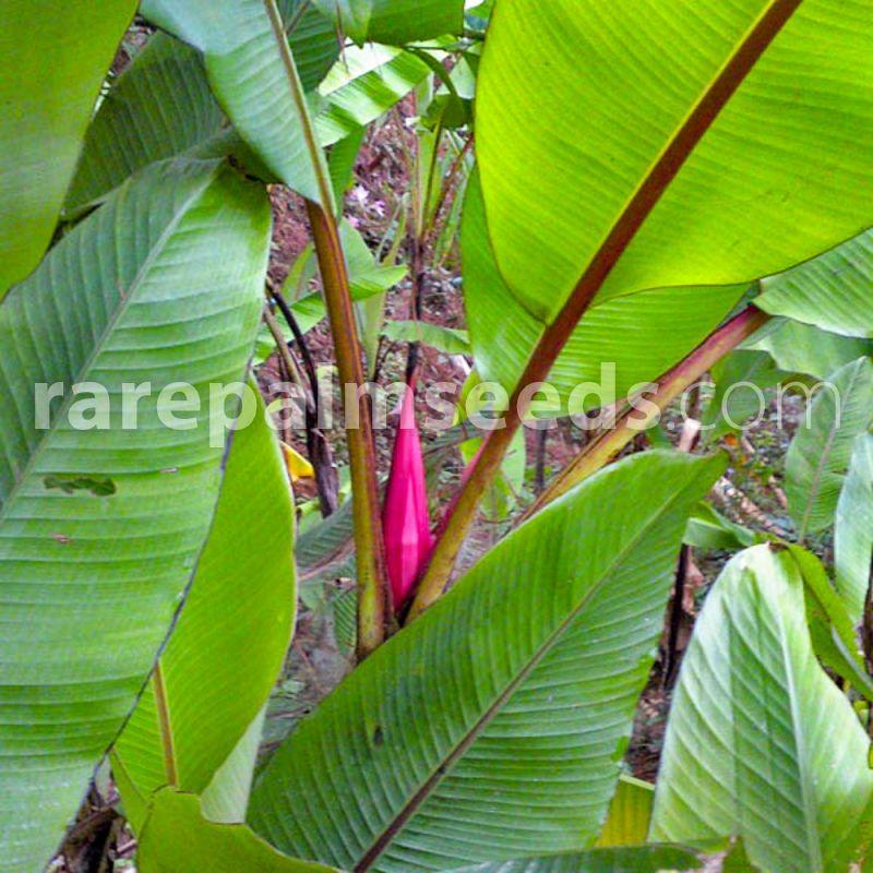 Seeds Dwarf Indian Banana Musa mannii
