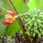 Musa monticola – Kinabalu Mountain Banana