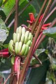 Musa rubinea – Tianzi Red Dwarf Banana