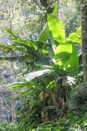 Musa sikkimensis – Darjeeling Banana