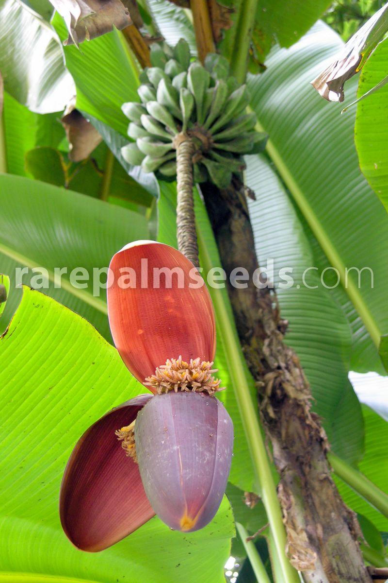 20 Riesiges Darjeeling Banane Samen Musa X Sikkimensis