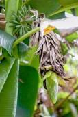 Musa sp. 'Mt. Popomanaseu' – Popomanaseu Banana