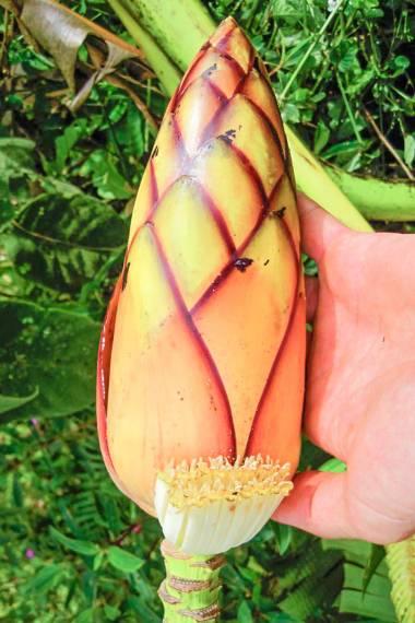 Musa Textilis Borneo Manila Hemp Buy Seeds At Rarepalmseeds Com