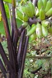 Musa textilis 'Ebony' – Black Manila Hemp Banana