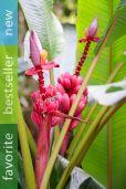 Musa velutina – Pink Dwarf Banana