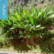 Musa yunnanensis – Yunnan Banana