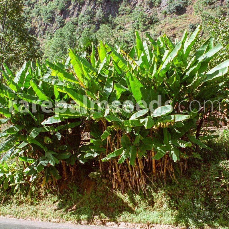 Musa Yunnanensis Yunnan Banana