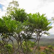 Myodocarpus fraxinifolius