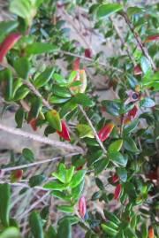 Myrtastrum rufopunctatum – New Caledonian Myrtle