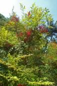 Nandina domestica – Bambú sagrado