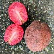 Nauclea latifolia – African Red Peach