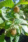 Nauclea orientalis – Canary Wood