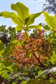 Neopanax arboreus – Fivefinger