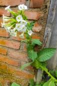 Nicotiana tabacum 'Alba' – Ornamental Tobacco