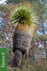 Nolina hibernica – Siberia-Bärengrasbaum
