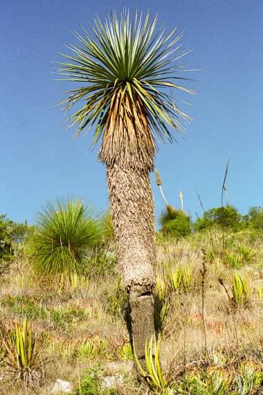 Nolina nelsonii – Blauer Bärengrasbaum