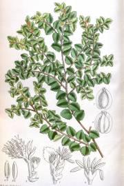 Nothofagus cunninghamii – Tasmanische Scheinbuche