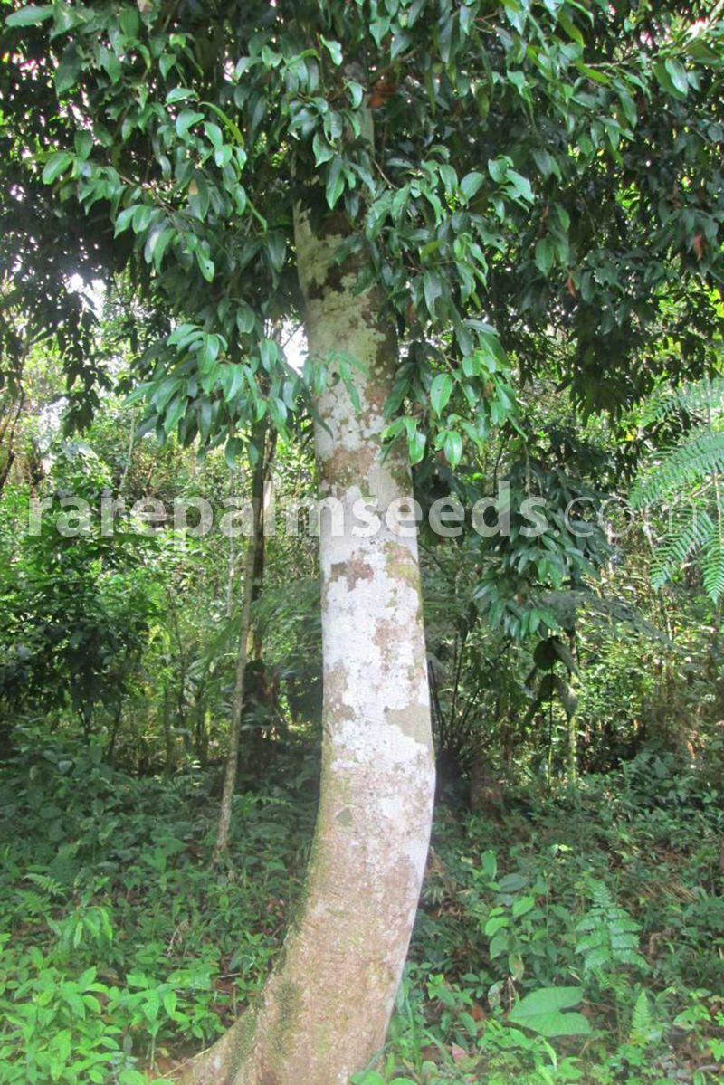 Ocotea Quixos Ecuador Zimtbaum Samen Kaufen Bei Rarepalmseeds Com