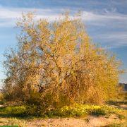 Olneya tesota – Desert Ironwood