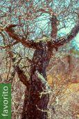 Operculicarya decaryi – Árbol del elefante, SOLO UE