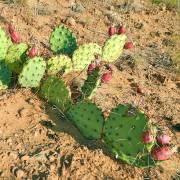 Opuntia phaeacantha – Mojave Prickly Pear