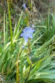 Orthrosanthus chimboracensis – Chimborazo Iris