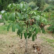 Pachira aquatica – Malabar Chestnut, Money Tree