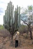 Pachycereus weberi – Oaxaca Cardon