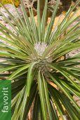 Pachypodium geayi – Geays Madagaskarpalme