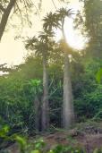 Pachypodium lamerei – 'Madagascar Palm'