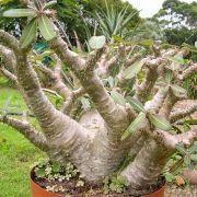Pachypodium rosulatum subsp. cactipes