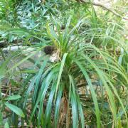 Pandanus fibrosus