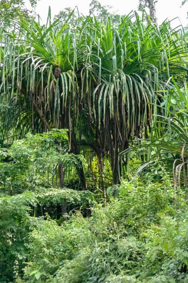 Pandanus furcatus