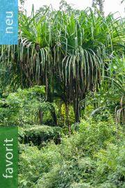Pandanus furcatus – Himalaya-Schraubenbaum