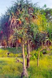 Pandanus odorifer