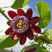 Passiflora alata – Riesen-Granadilla