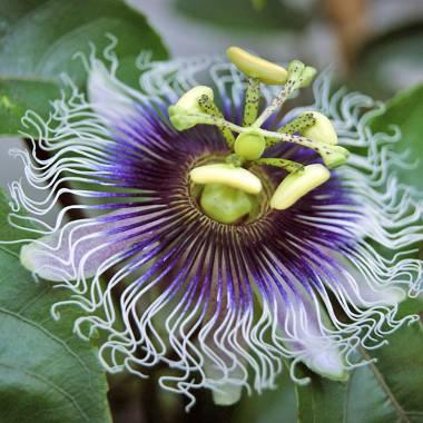 Passiflora edulis f. flavicarpa – Passion Fruit
