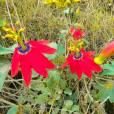 Passiflora manicata – Red Passionflower