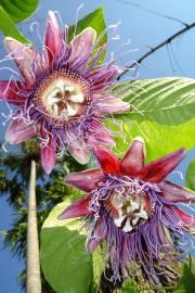 Passiflora quadrangularis – Giant Granadilla