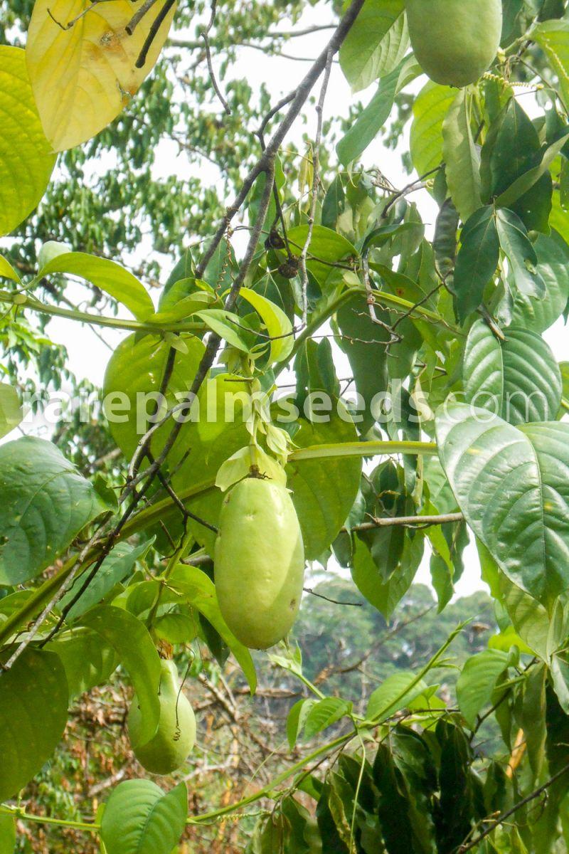 wunderschöne Königs-Granadilla hat Maracujas auch Passionsfrucht genannt