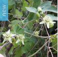Passiflora suberosa – Corky-stemmed Passion Flower