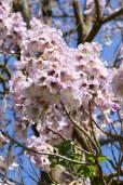 Paulownia tomentosa – Princesstree, Empress Tree