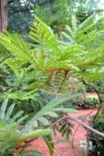 Peltophorum africanum – Weeping Wattle, African Blackwood