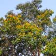 Peltophorum pterocarpum – Flamboyant jaune