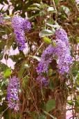 Petrea volubilis – Queens Wreath